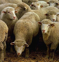 Sheep: 3.1% closer to God