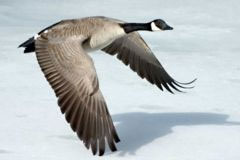 """A """"gimpy goose"""" such as that held responsible for latest missile shield failure"""